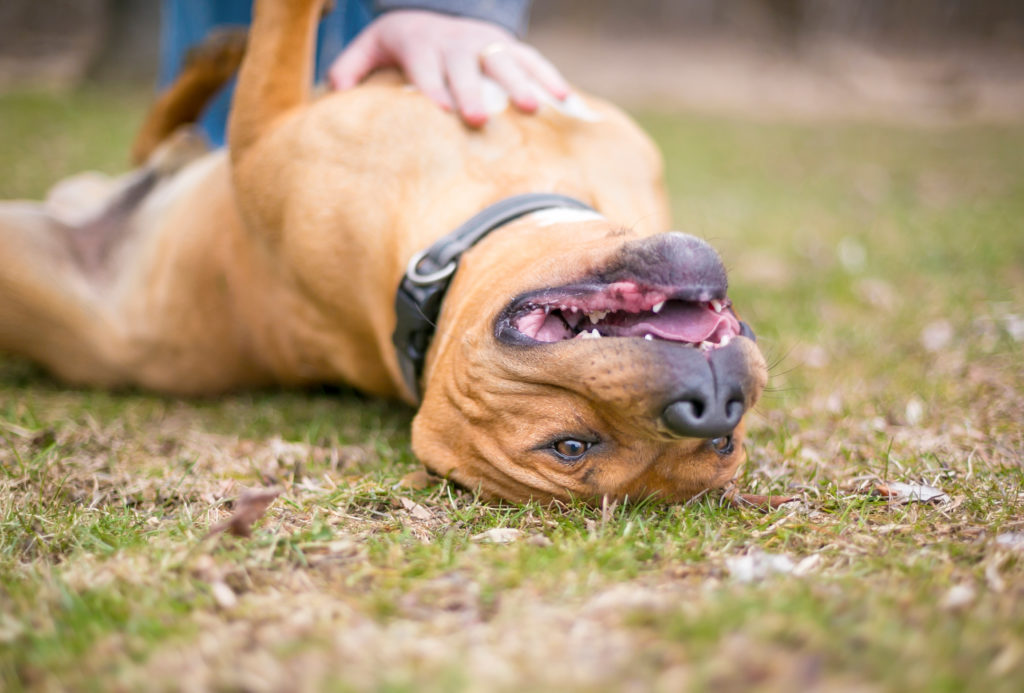 A red Pit Bull Terrier mixed breed dog lying upside down in the grass receiving a belly rub